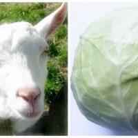 山羊とキャベツ