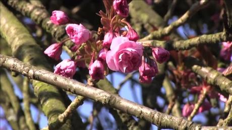 ソー公園の桜