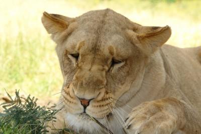 メスのライオン