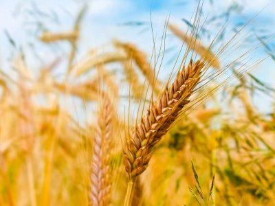 黄金のバーリー麦畑