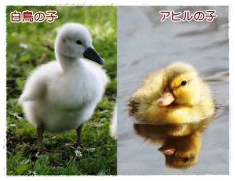白鳥の子とアヒルの子