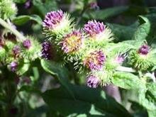 オナモミの花