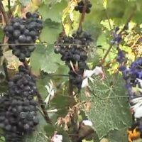 ブドウ収穫祭(モンマルトル)