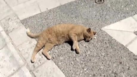 アスプルモンの猫