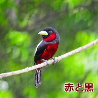 赤くて黒い鳥