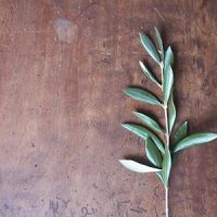 オリーブの小枝