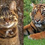 パリ郊外で目撃された虎は実は巨大な猫でした