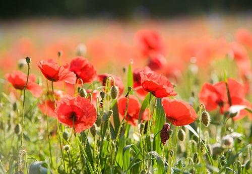 11月11日はリメンブランスデイ(戦没者追悼記念日)。赤いケシの花の日です(前編)