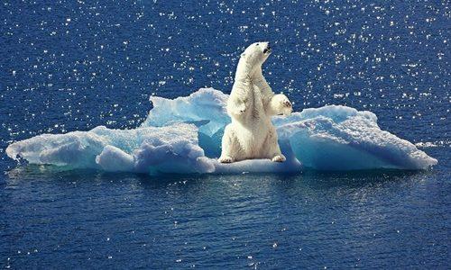 北極のクマ